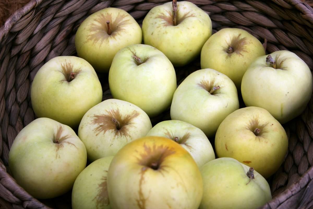 яблоки сорта Антоновка